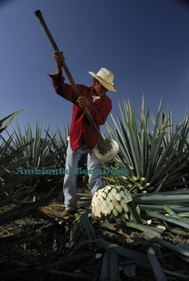 Harvesting_Agave_Fields