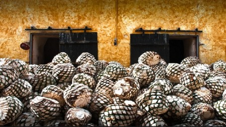 piñas_agave_proceso_tequila