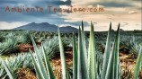 campo_agave_tequila_landscape